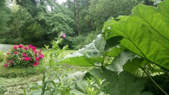 Fairhaven Woodland and Water Garden Gunnera and Hydrangeas